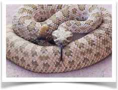 Rattlesnake Avoidance Training