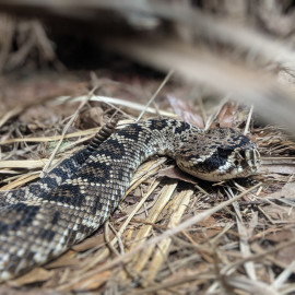 Rattlesnake Safety…Keeping your property safe from slithering visitors